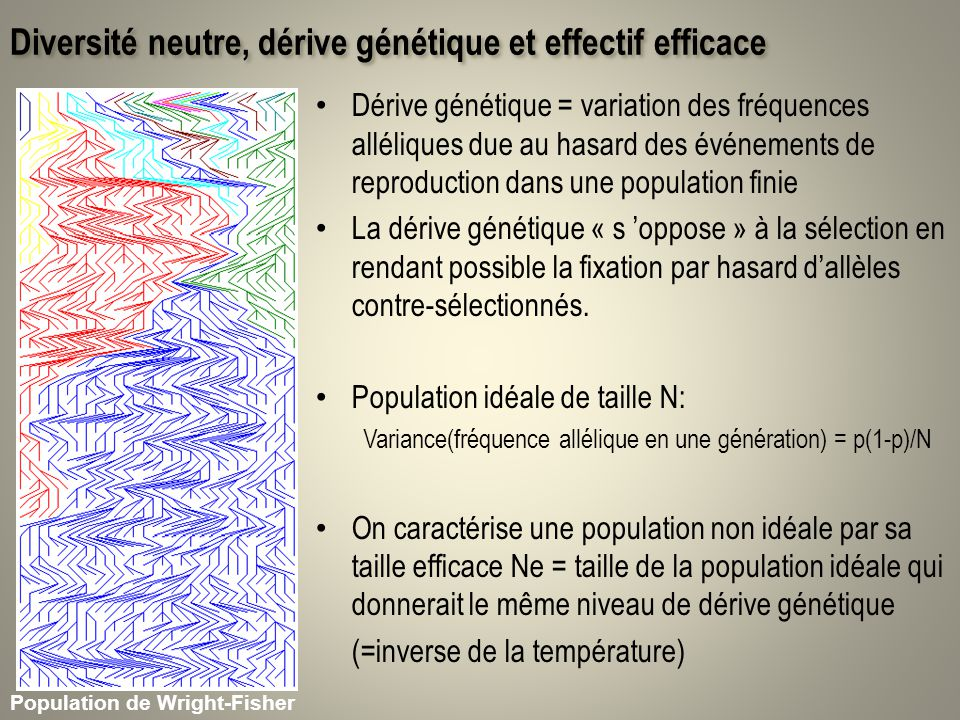 Espace spatialement implicite et structuration génétique Fst = corrélation intra-pop de létat allélique de deux gènes Q : proba didentité de deux gènes tirés au hasard Dans une métapopulation de taille infinie à léquilibre Leffectif efficace dune métapopulation est m=0; N=20; 10 allèles N=180; 10 allèles m=0.1; N=20; 10 allèles
