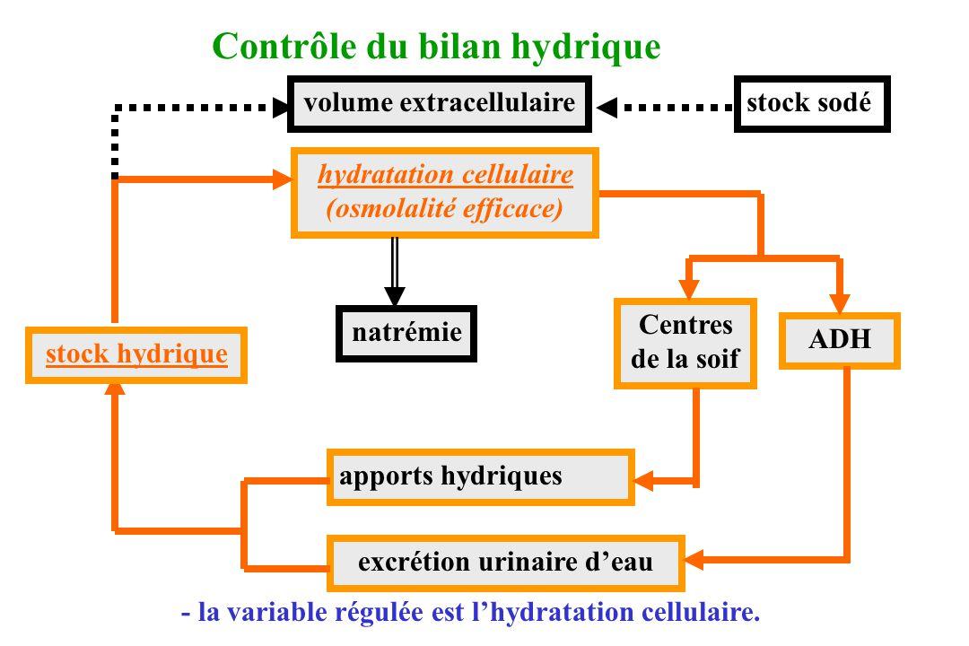 Centres de la soif ADH apports hydriques excrétion urinaire deau stock hydrique hydratation cellulaire (osmolalité efficace) natrémie volume extracell