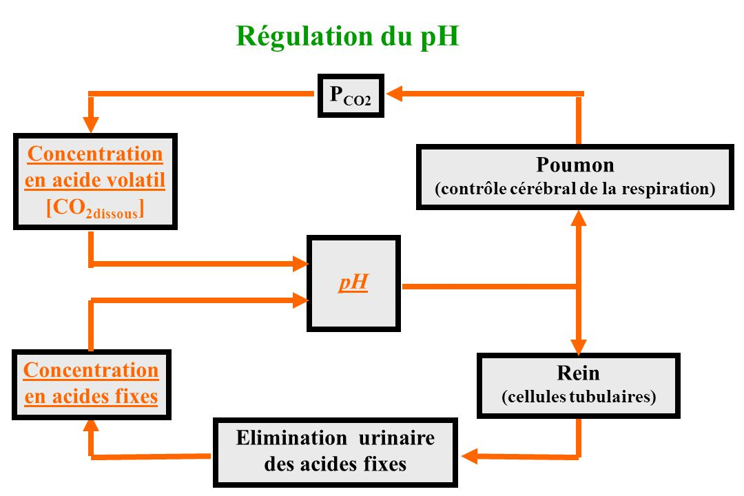 Elimination urinaire des acides fixes Rein (cellules tubulaires) pH Concentration en acides fixes Poumon (contrôle cérébral de la respiration) P CO2 R