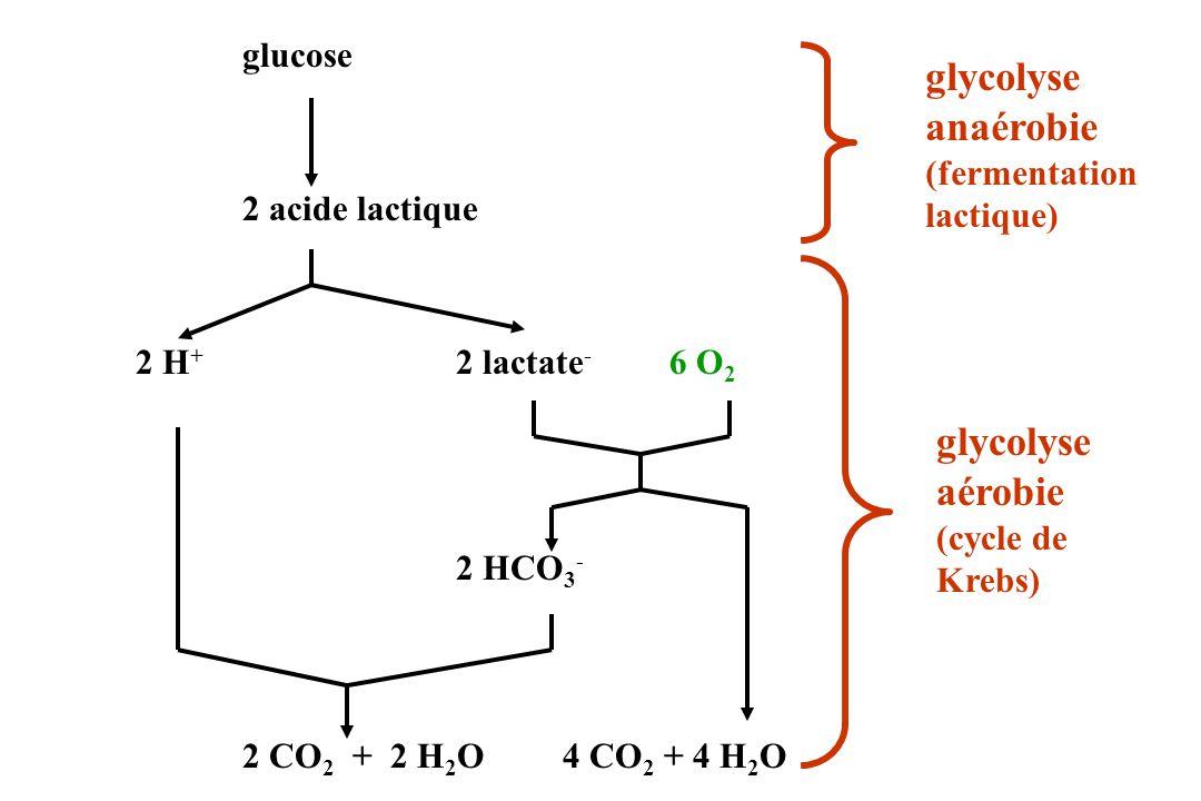 glucose 2 acide lactique 2 H + 2 lactate - 6 O 2 2 HCO 3 - 2 CO 2 + 2 H 2 O4 CO 2 + 4 H 2 O glycolyse anaérobie (fermentation lactique) glycolyse aéro
