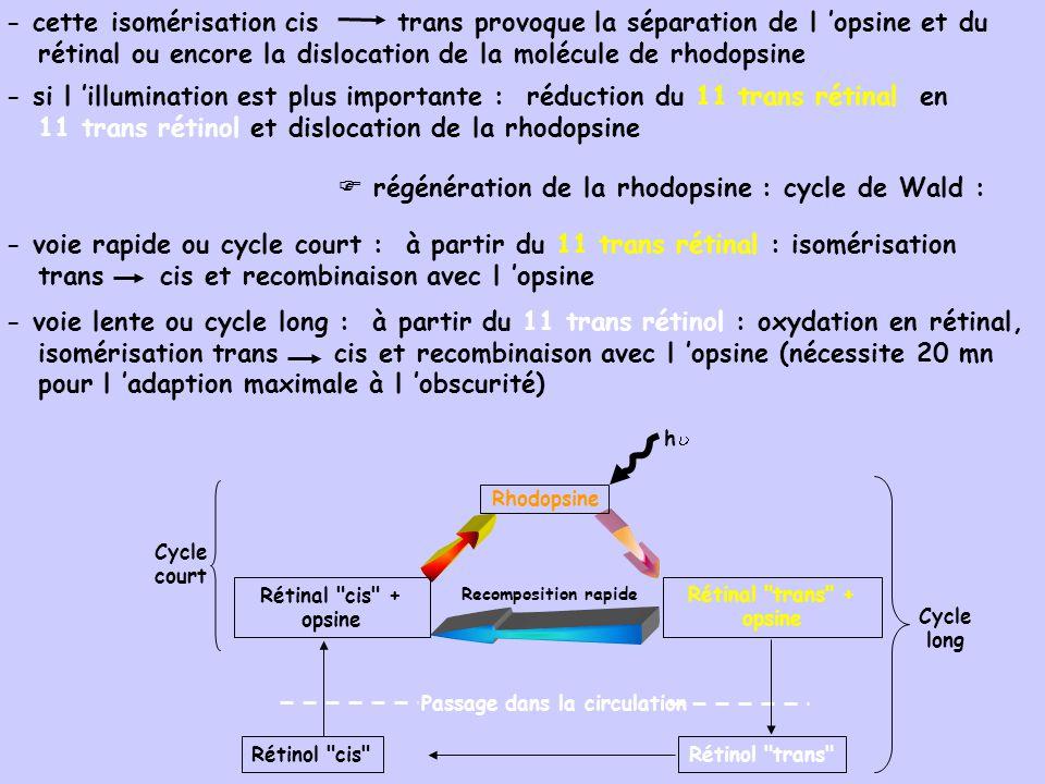- cette isomérisation cis trans provoque la séparation de l opsine et du rétinal ou encore la dislocation de la molécule de rhodopsine - si l illumination est plus importante : réduction du 11 trans rétinal en 11 trans rétinol et dislocation de la rhodopsine régénération de la rhodopsine : cycle de Wald : - voie rapide ou cycle court : à partir du 11 trans rétinal : isomérisation trans cis et recombinaison avec l opsine - voie lente ou cycle long : à partir du 11 trans rétinol : oxydation en rétinal, isomérisation trans cis et recombinaison avec l opsine (nécessite 20 mn pour l adaption maximale à l obscurité) Recomposition rapide Passage dans la circulation Rhodopsine h Rétinal cis + opsine Rétinol cis Cycle court Rétinal trans + opsine Rétinol trans Cycle long