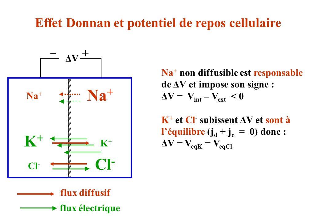 ΔVΔV Na + + _ K+K+ Cl - K+K+ Na + Effet Donnan et potentiel de repos cellulaire flux diffusif flux électrique Na + non diffusible est responsable de Δ