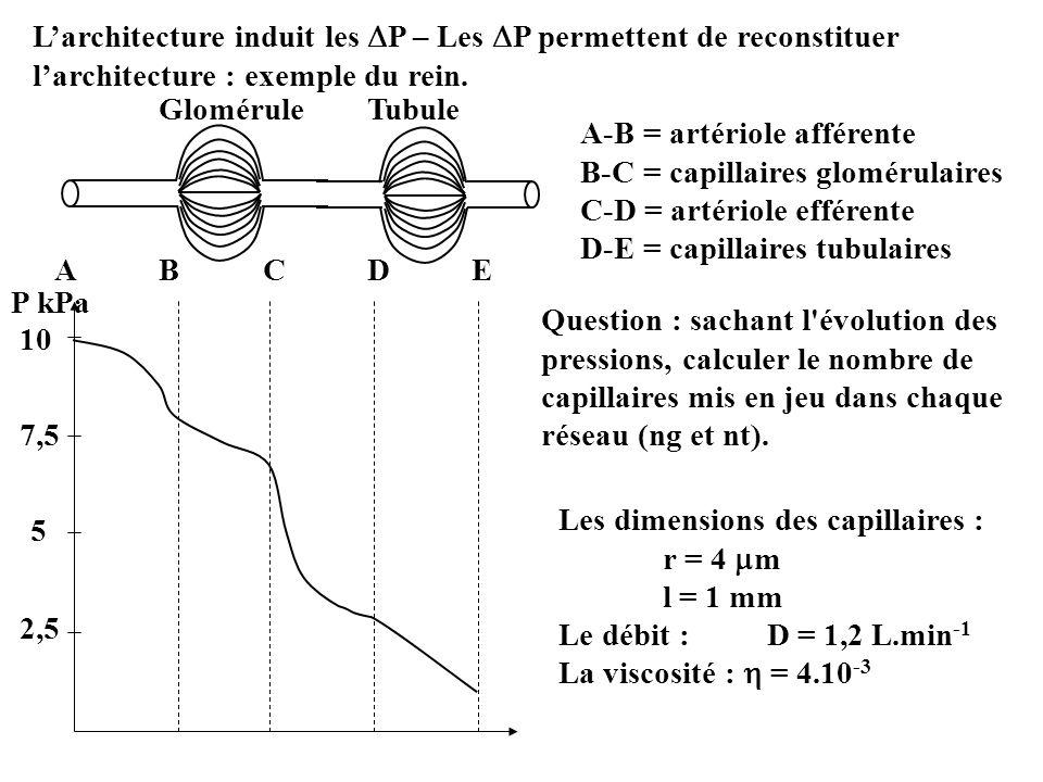 Larchitecture induit les P – Les P permettent de reconstituer larchitecture : exemple du rein. GloméruleTubule 10 7,5 5 2,5 P kPa ABCDEABCDE A-B = art