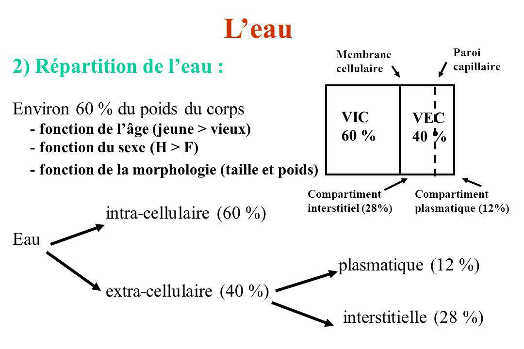 Leau 2) Répartition de leau : Environ 60 % du poids du corps - fonction de lâge (jeune > vieux) - fonction du sexe (H > F) - fonction de la morphologi