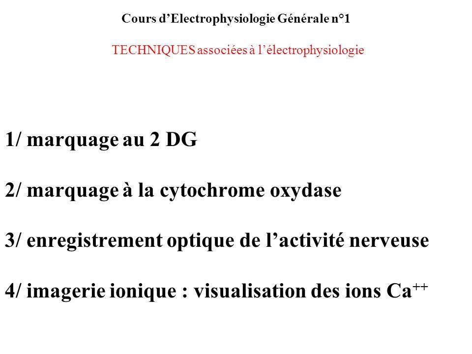 Cours dElectrophysiologie Générale n°1 TECHNIQUES associées à lélectrophysiologie 1/ marquage au 2 DG 2/ marquage à la cytochrome oxydase 3/ enregistr