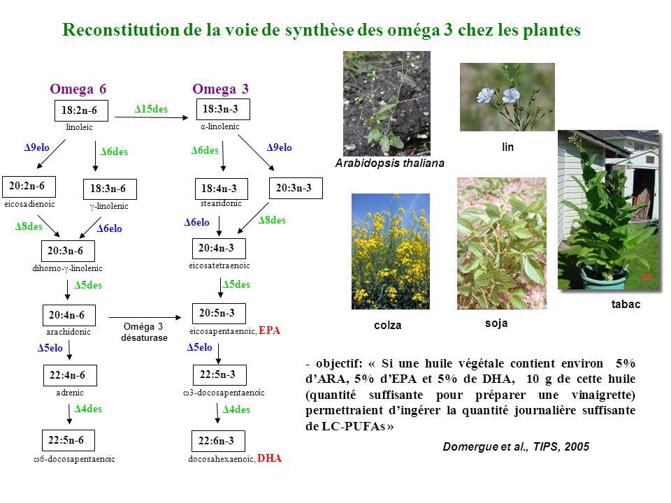 - objectif: « Si une huile végétale contient environ 5% dARA, 5% dEPA et 5% de DHA, 10 g de cette huile (quantité suffisante pour préparer une vinaigrette) permettraient dingérer la quantité journalière suffisante de LC-PUFAs » Reconstitution de la voie de synthèse des oméga 3 chez les plantes 20:3n-3 20:4n-6 arachidonic 20:3n-6 dihomo-γ-linolenic 18:3n-6 γ-linolenic 20:2n-6 eicosadienoic 18:2n-6 linoleic 22:6n-3 docosahexaenoic, DHA 18:3n-3 α-linolenic 18:4n-3 stearidonic 20:4n-3 eicosatetraenoic 20:5n-3 eicosapentaenoic, EPA 22:5n-3 ω3-docosapentaenoic 22:4n-6 adrenic 22:5n-6 ω6-docosapentaenoic Δ9elo Δ6des Δ6elo Δ8des Δ15des Δ9elo Δ8des Δ6des Δ6elo Δ5elo Δ5des Δ4des Omega 6Omega 3 Δ5elo Domergue et al., TIPS, 2005 Arabidopsis thaliana colza lin tabac soja Oméga 3 désaturase