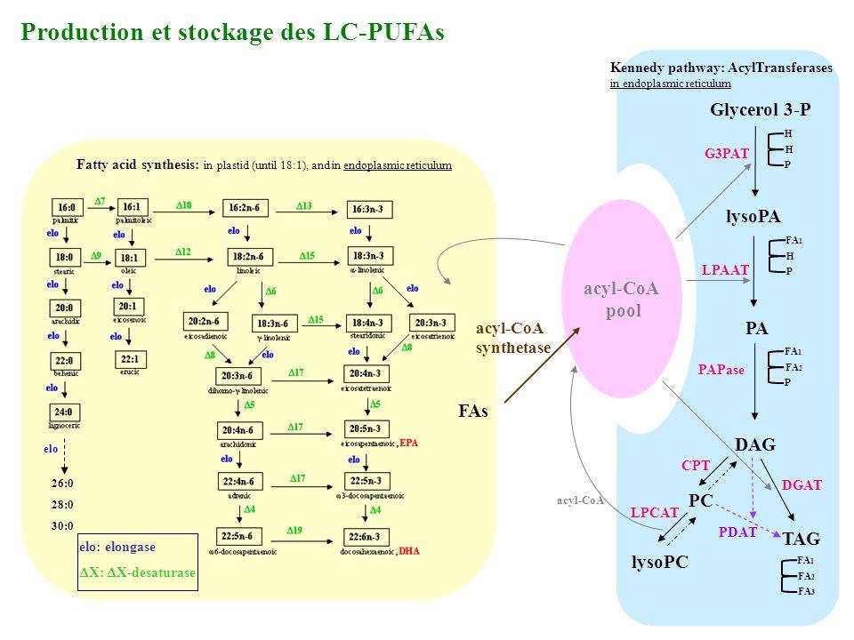 Production et stockage des LC-PUFAs Glycerol 3-P lysoPA PA DAG TAG G3PAT LPAAT PAPase DGAT PC lysoPC CPT LPCAT H H P FA 1 H P FA 2 P FA 1 FA 2 FA 3 ac