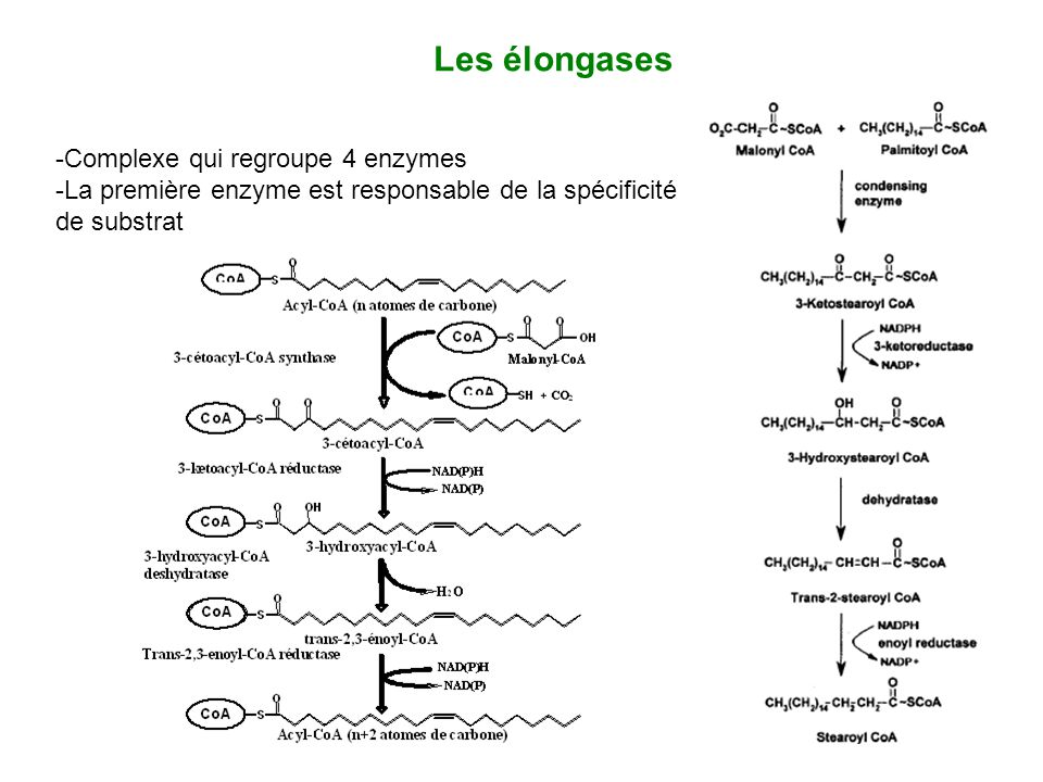 Les élongases -Complexe qui regroupe 4 enzymes -La première enzyme est responsable de la spécificité de substrat