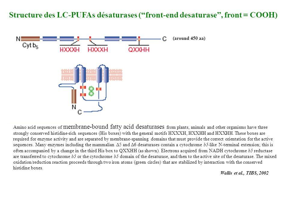 Wallis et al., TIBS, 2002 Structure des LC-PUFAs désaturases (front-end desaturase, front = COOH) Amino acid sequences of membrane-bound fatty acid de