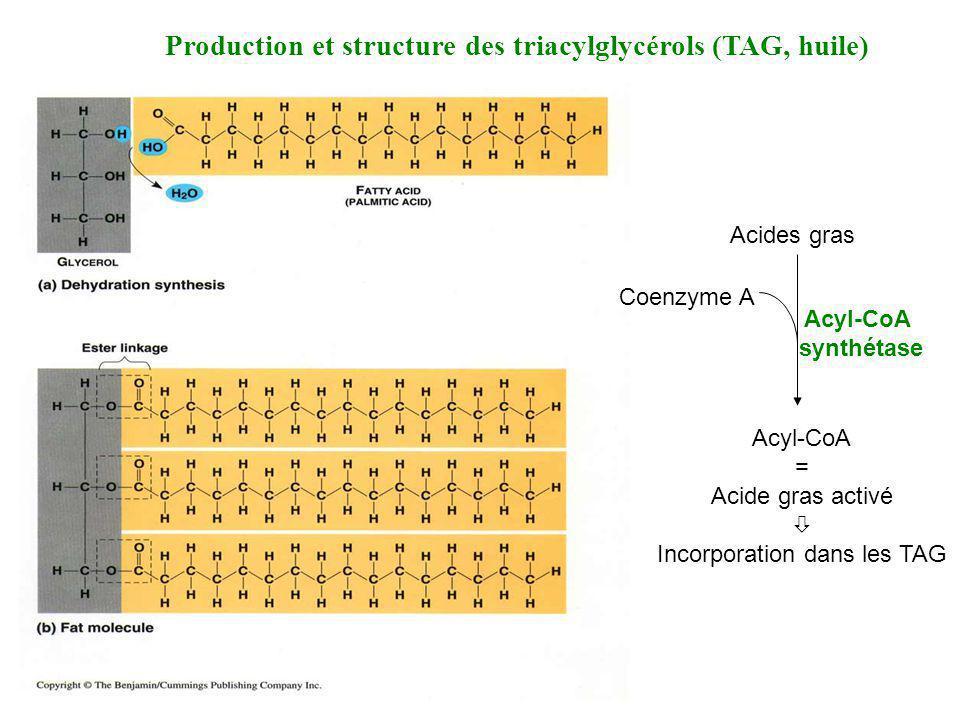 Production et structure des triacylglycérols (TAG, huile) Acides gras Coenzyme A Acyl-CoA = Acide gras activé Incorporation dans les TAG Acyl-CoA synt