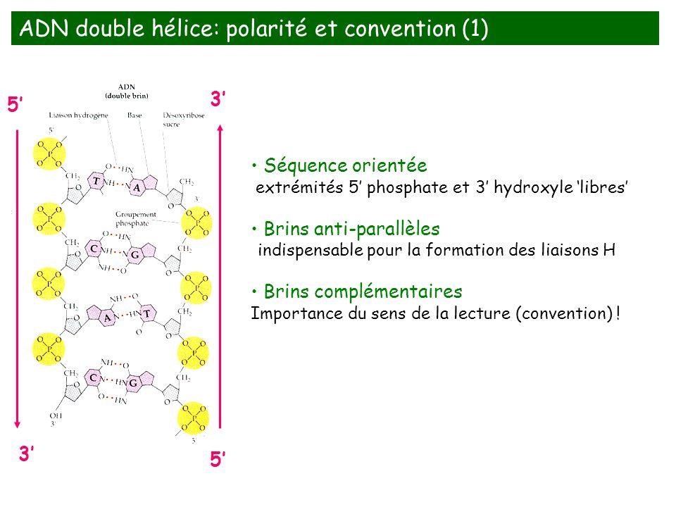 Séquence orientée extrémités 5 phosphate et 3 hydroxyle libres Brins anti-parallèles indispensable pour la formation des liaisons H Brins complémentai