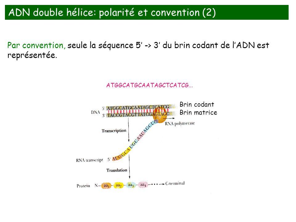 Par convention, seule la séquence 5 -> 3 du brin codant de lADN est représentée. Brin codant Brin matrice ATGGCATGCAATAGCTCATCG... ADN double hélice: