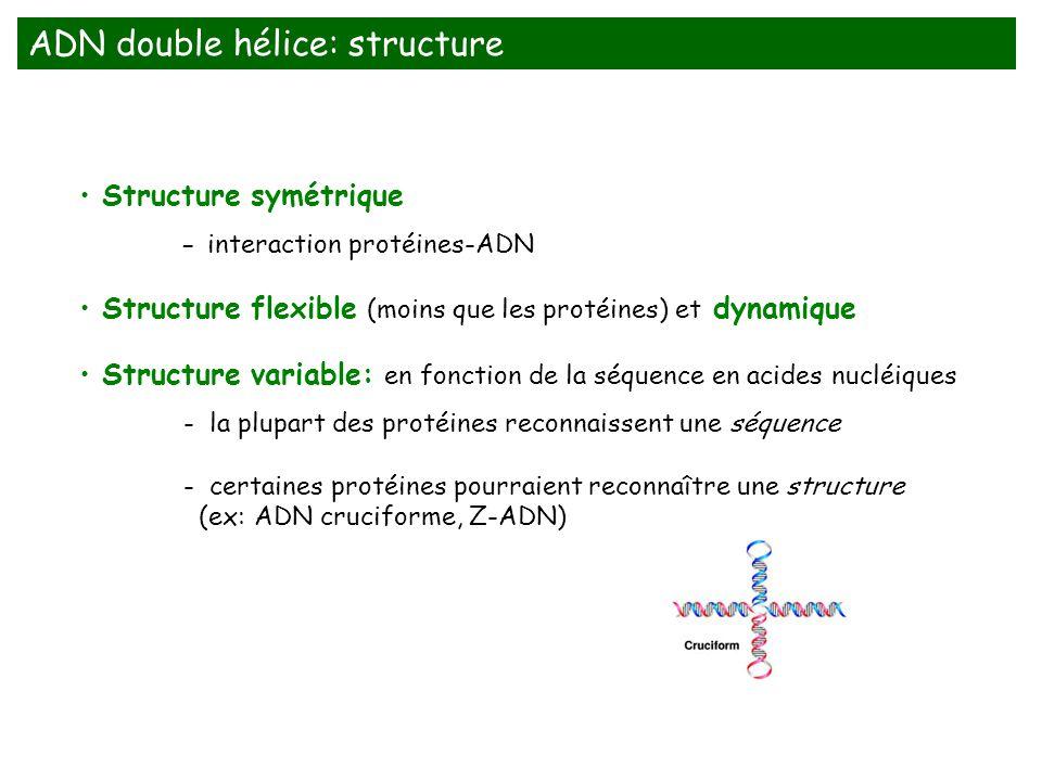 Structure symétrique - interaction protéines-ADN Structure flexible (moins que les protéines) et dynamique Structure variable: en fonction de la séque