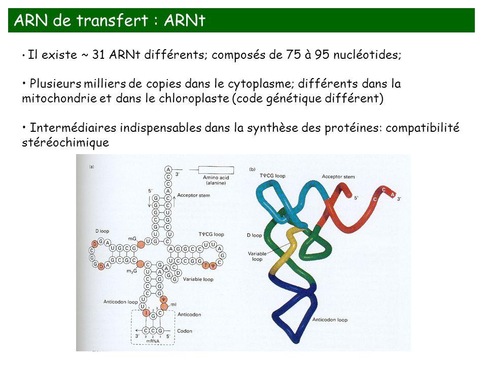 Il existe ~ 31 ARNt différents; composés de 75 à 95 nucléotides; Plusieurs milliers de copies dans le cytoplasme; différents dans la mitochondrie et d