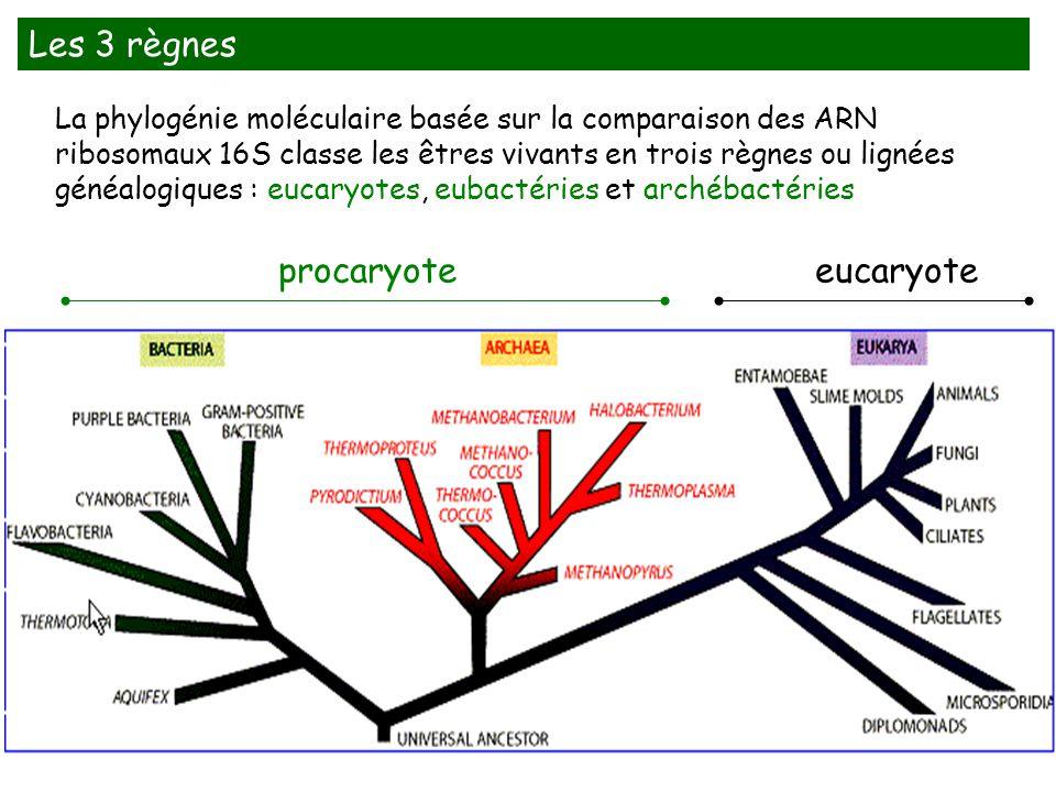 La phylogénie moléculaire basée sur la comparaison des ARN ribosomaux 16S classe les êtres vivants en trois règnes ou lignées généalogiques : eucaryot