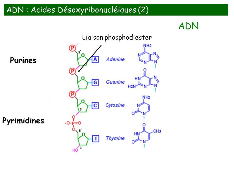 Purines Pyrimidines Liaison phosphodiester ADN : Acides Désoxyribonucléiques (2) ADN