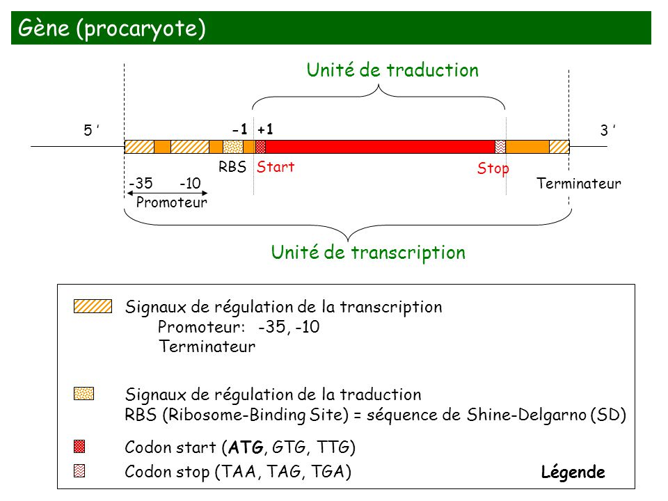 -35-10 RBS Start Stop Unité de transcription Unité de traduction Codon start (ATG, GTG, TTG) Codon stop (TAA, TAG, TGA) Signaux de régulation de la tr