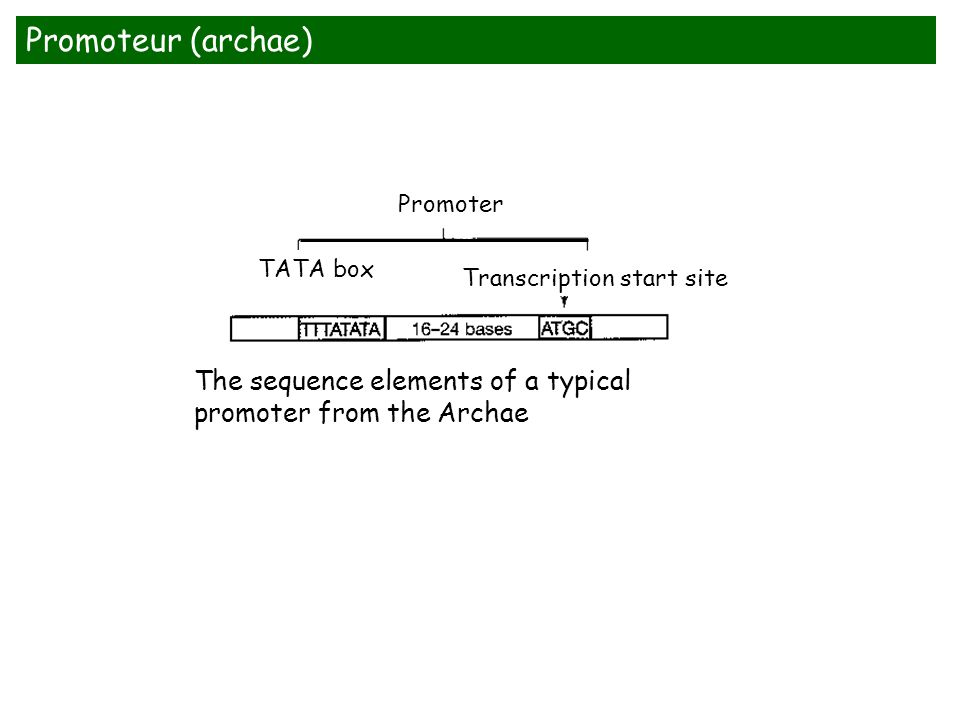 Promoter TATA box Transcription start site Promoteur (archae) The sequence elements of a typical promoter from the Archae
