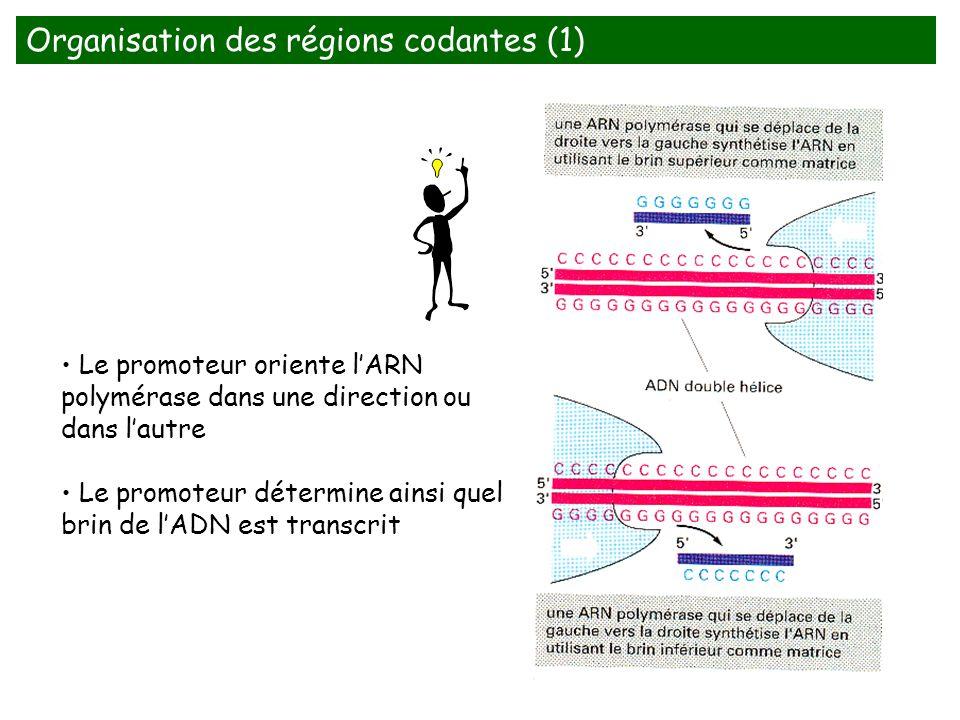 Organisation des régions codantes (1) Le promoteur oriente lARN polymérase dans une direction ou dans lautre Le promoteur détermine ainsi quel brin de