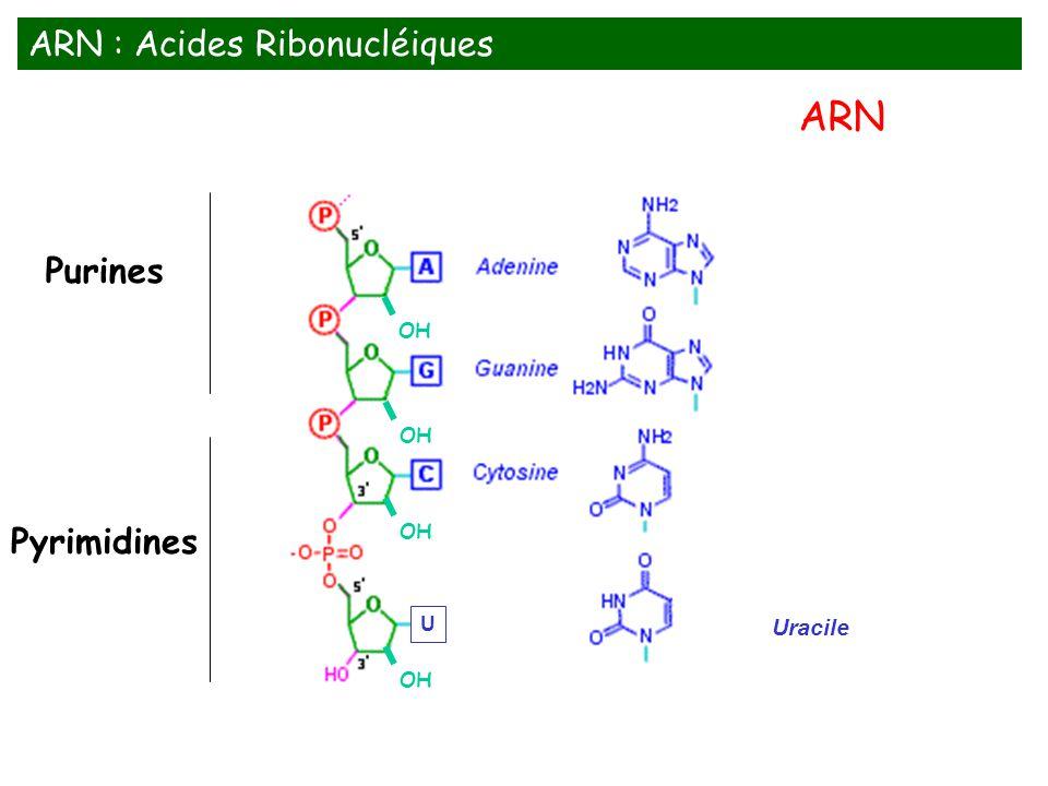 Uracile Purines Pyrimidines OH U ARN : Acides Ribonucléiques ARN