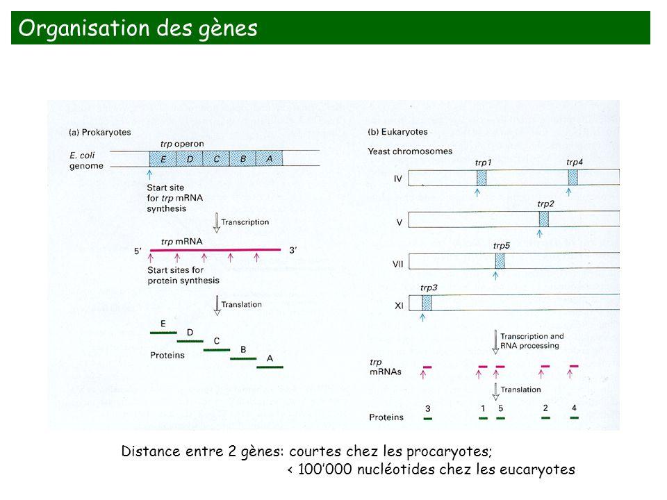 Distance entre 2 gènes: courtes chez les procaryotes; < 100000 nucléotides chez les eucaryotes Organisation des gènes