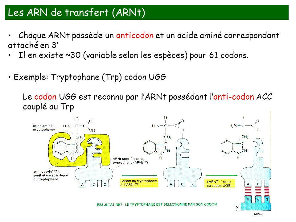 Chaque ARNt possède un anticodon et un acide aminé correspondant attaché en 3 Il en existe ~30 (variable selon les espèces) pour 61 codons. Exemple: T