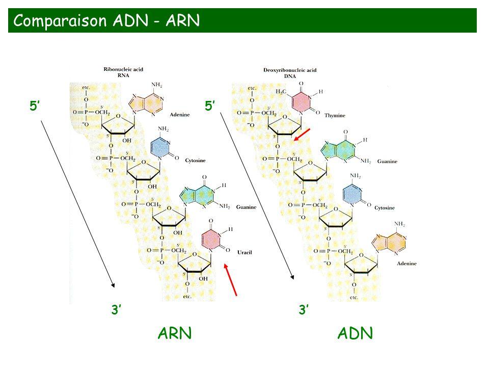 5 3 5 3 Comparaison ADN - ARN ARNADN