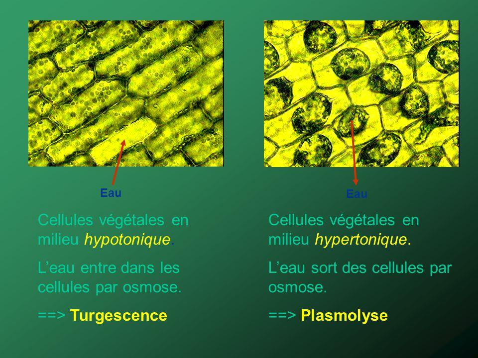 Cellules végétales en milieu hypotonique. Leau entre dans les cellules par osmose. ==> Turgescence Cellules végétales en milieu hypertonique. Leau sor