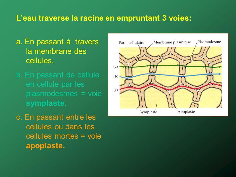 Leau traverse la racine en empruntant 3 voies: a. En passant à travers la membrane des cellules. b. En passant de cellule en cellule par les plasmodes