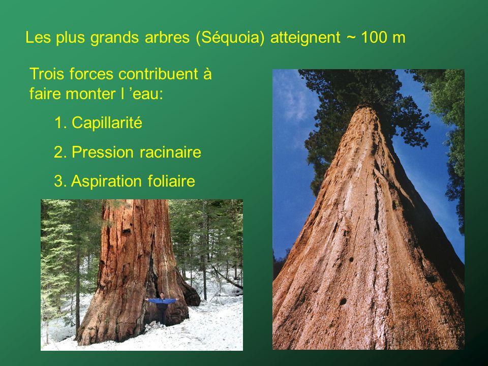 Les plus grands arbres (Séquoia) atteignent ~ 100 m Trois forces contribuent à faire monter l eau: 1. Capillarité 2. Pression racinaire 3. Aspiration