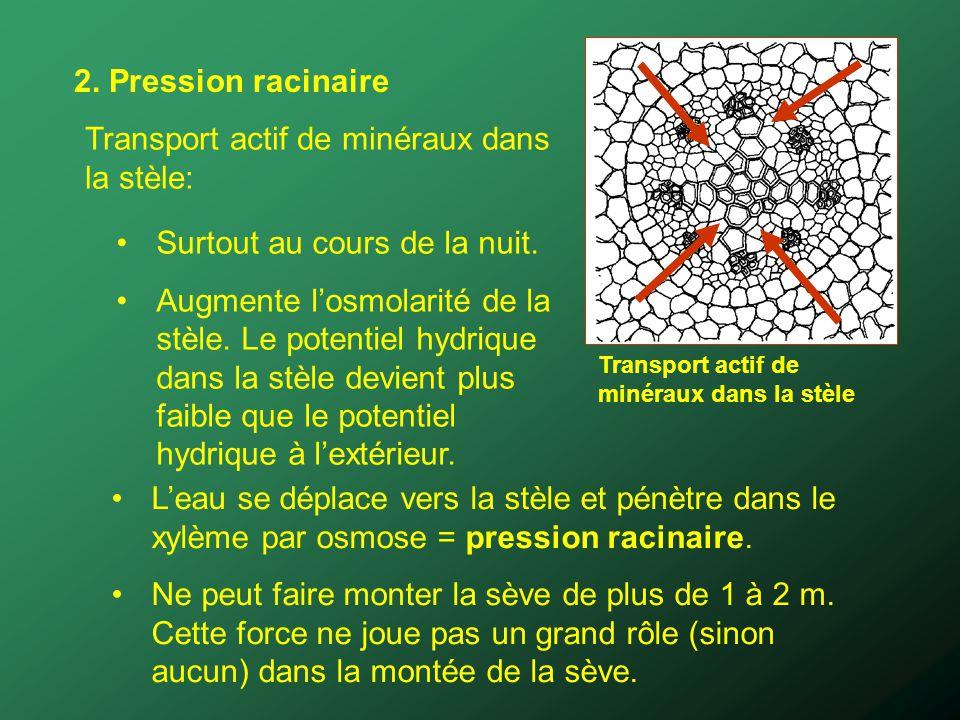 2. Pression racinaire Transport actif de minéraux dans la stèle: Surtout au cours de la nuit. Augmente losmolarité de la stèle. Le potentiel hydrique