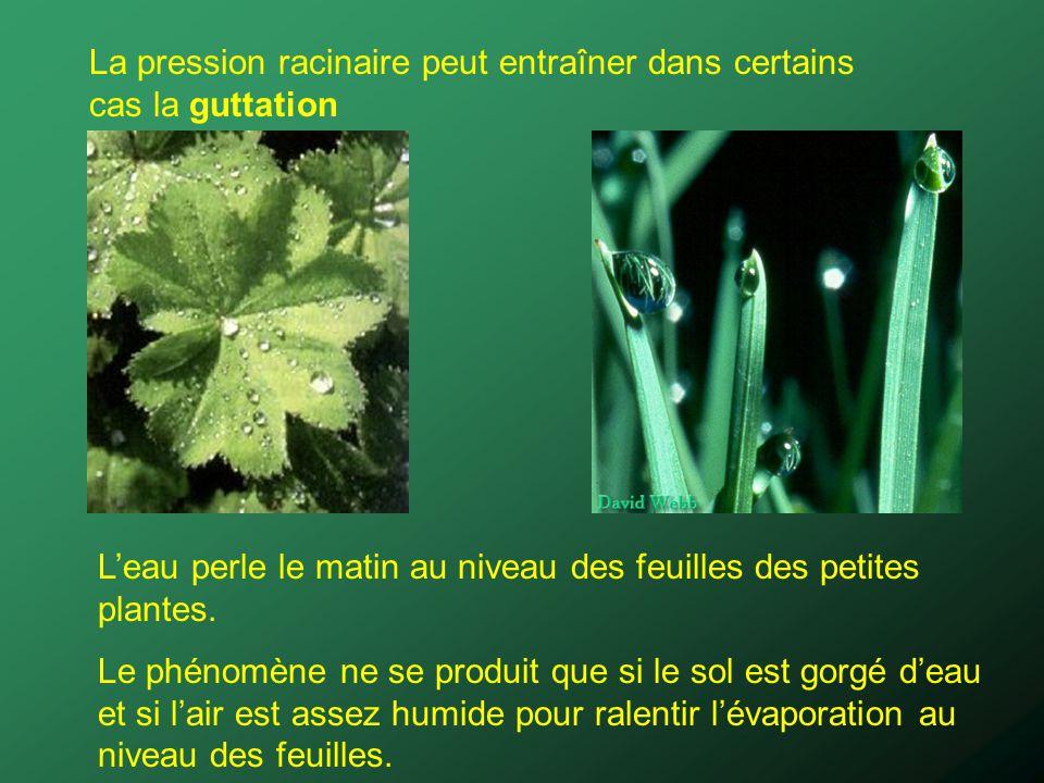 La pression racinaire peut entraîner dans certains cas la guttation Leau perle le matin au niveau des feuilles des petites plantes. Le phénomène ne se