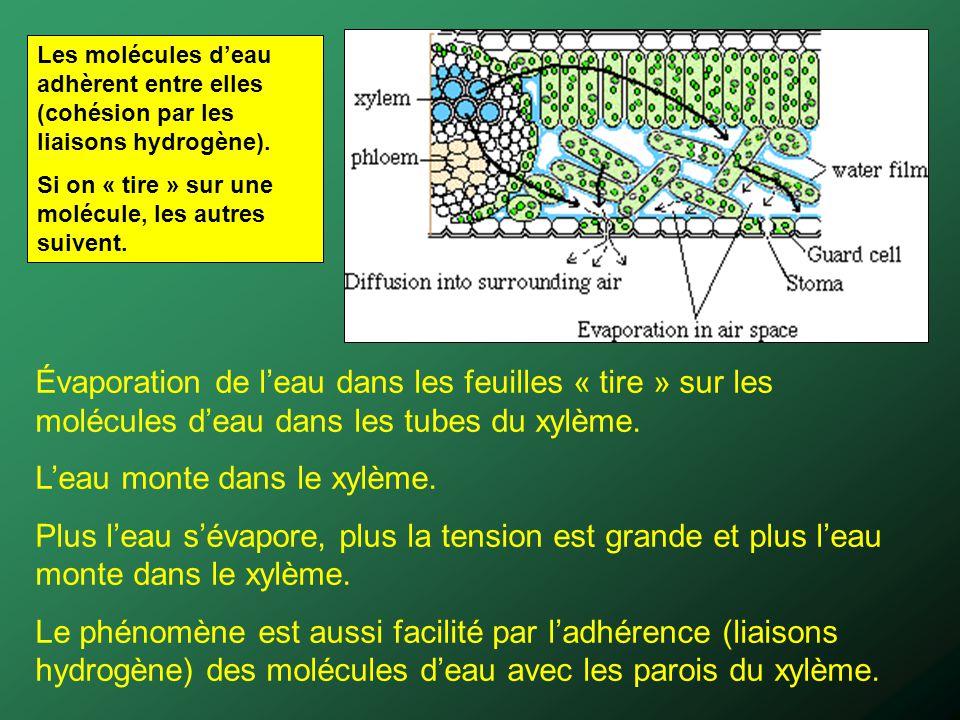 Les molécules deau adhèrent entre elles (cohésion par les liaisons hydrogène). Si on « tire » sur une molécule, les autres suivent. Évaporation de lea