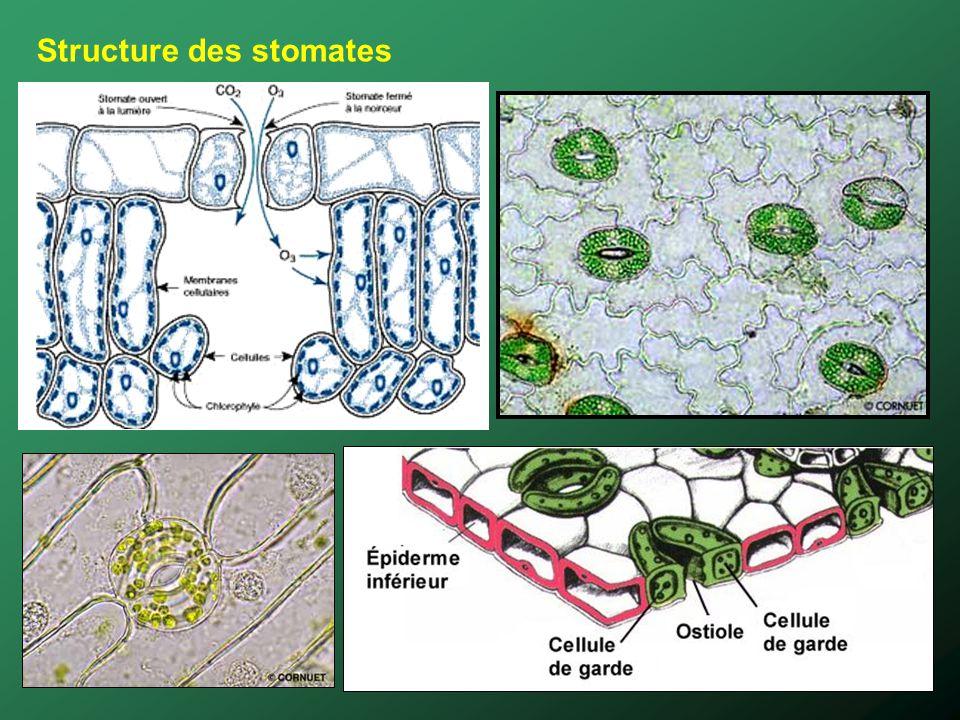 Structure des stomates