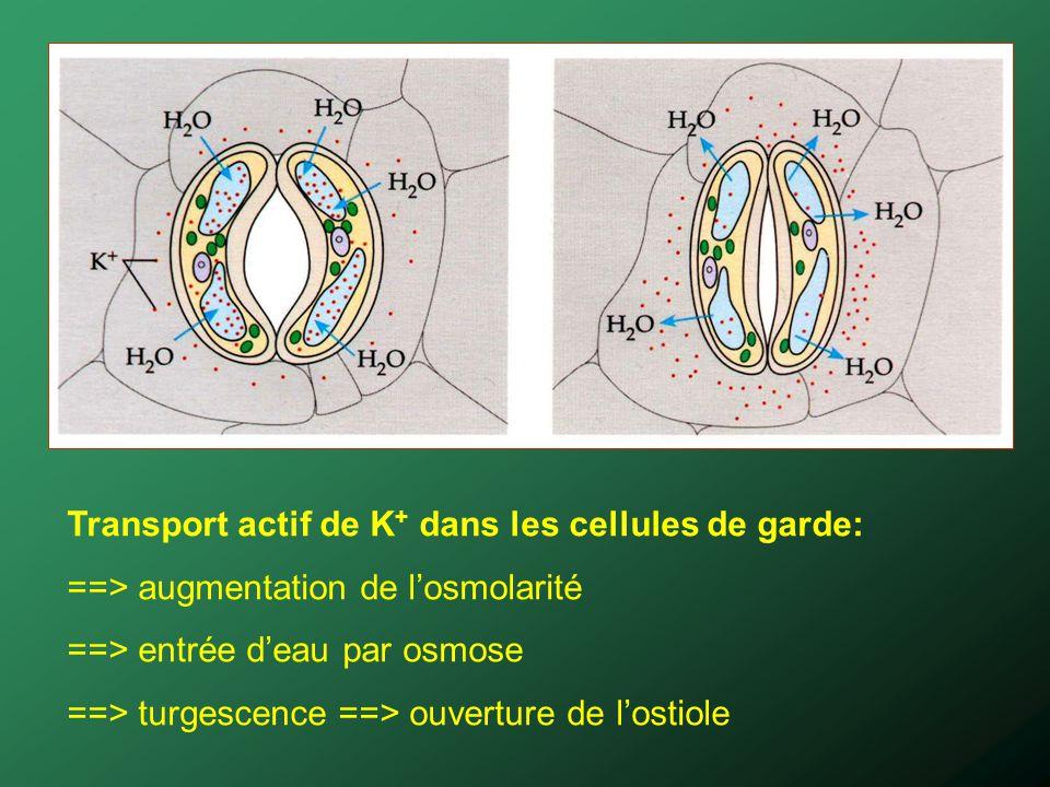 Transport actif de K + dans les cellules de garde: ==> augmentation de losmolarité ==> entrée deau par osmose ==> turgescence ==> ouverture de lostiol