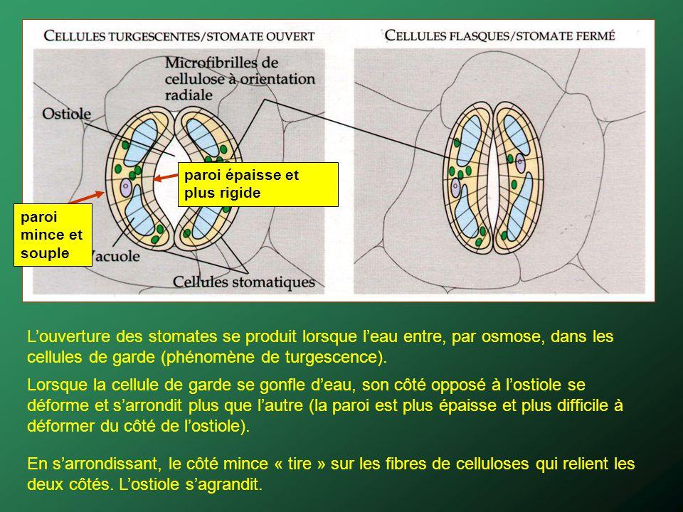 Louverture des stomates se produit lorsque leau entre, par osmose, dans les cellules de garde (phénomène de turgescence). Lorsque la cellule de garde