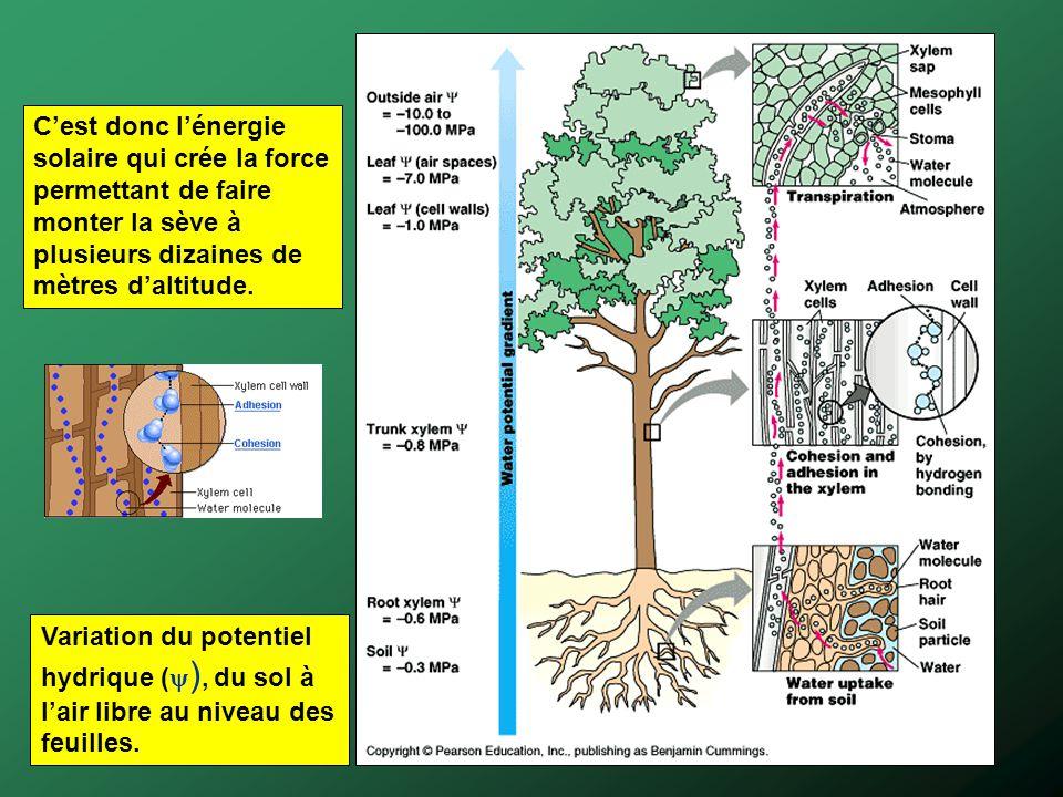 Variation du potentiel hydrique ( ), du sol à lair libre au niveau des feuilles. Cest donc lénergie solaire qui crée la force permettant de faire mont