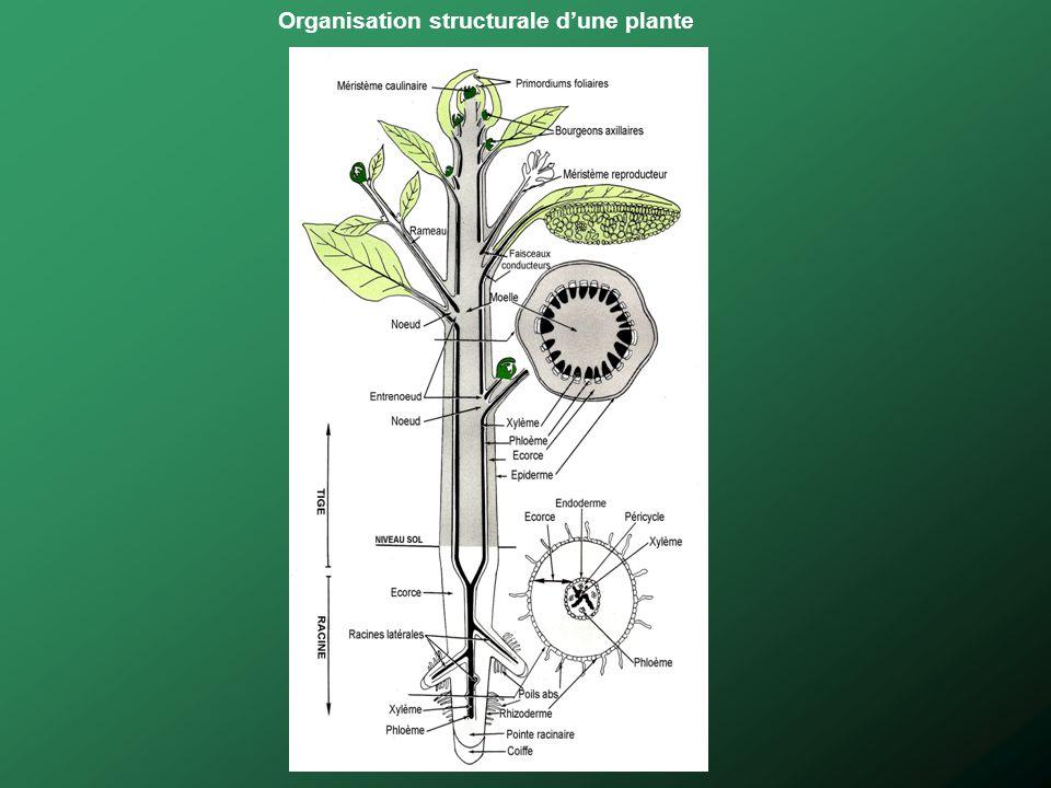 Organisation structurale dune plante