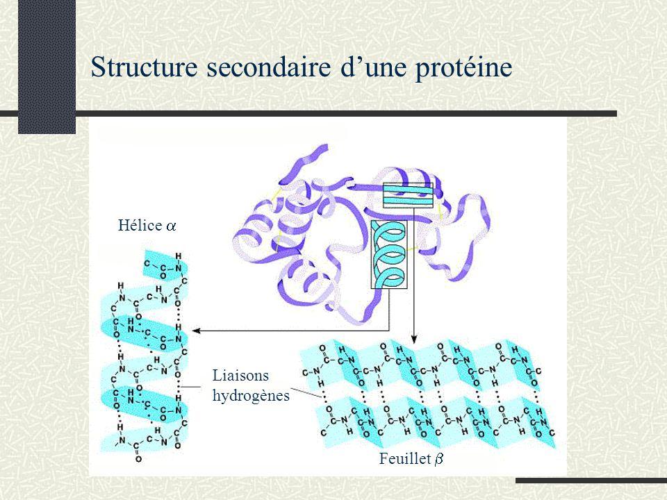 Structure secondaire dune protéine Hélice Feuillet Liaisons hydrogènes
