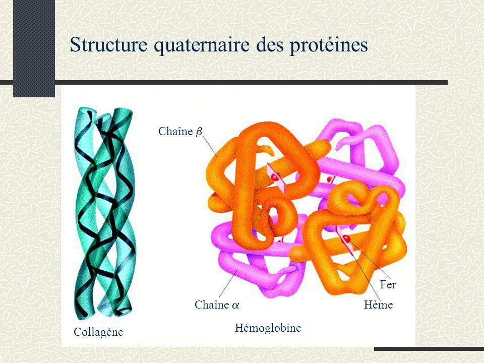 Chaîne Collagène Hème Fer Hémoglobine Structure quaternaire des protéines