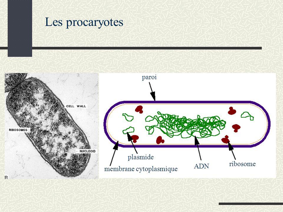 Les procaryotes membrane cytoplasmique plasmide paroi ADN ribosome