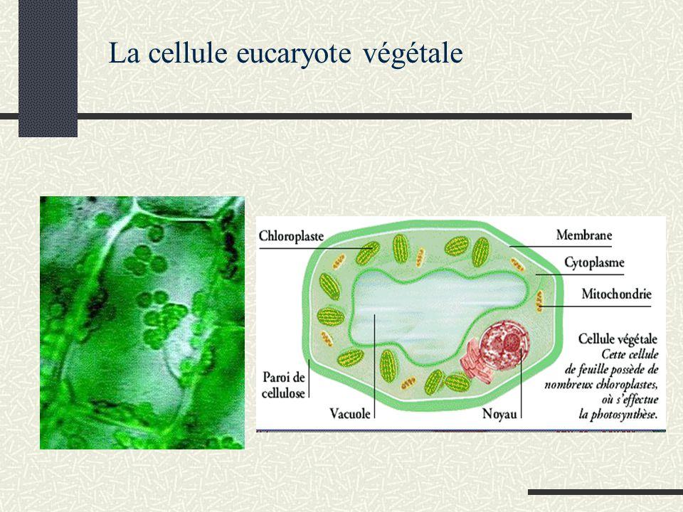 La cellule eucaryote végétale
