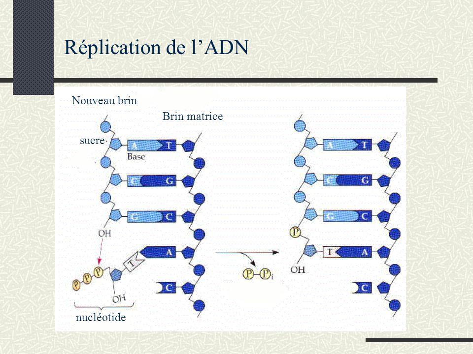 Nouveau brin Brin matrice sucre nucléotide Réplication de lADN