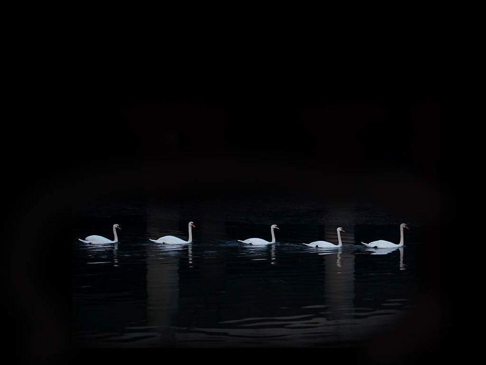 Mais sur le ténébreux miroir qui les encadre, Des cygnes familiers, éblouissante escadre, Suivent le long des bords un gracieux circuit;