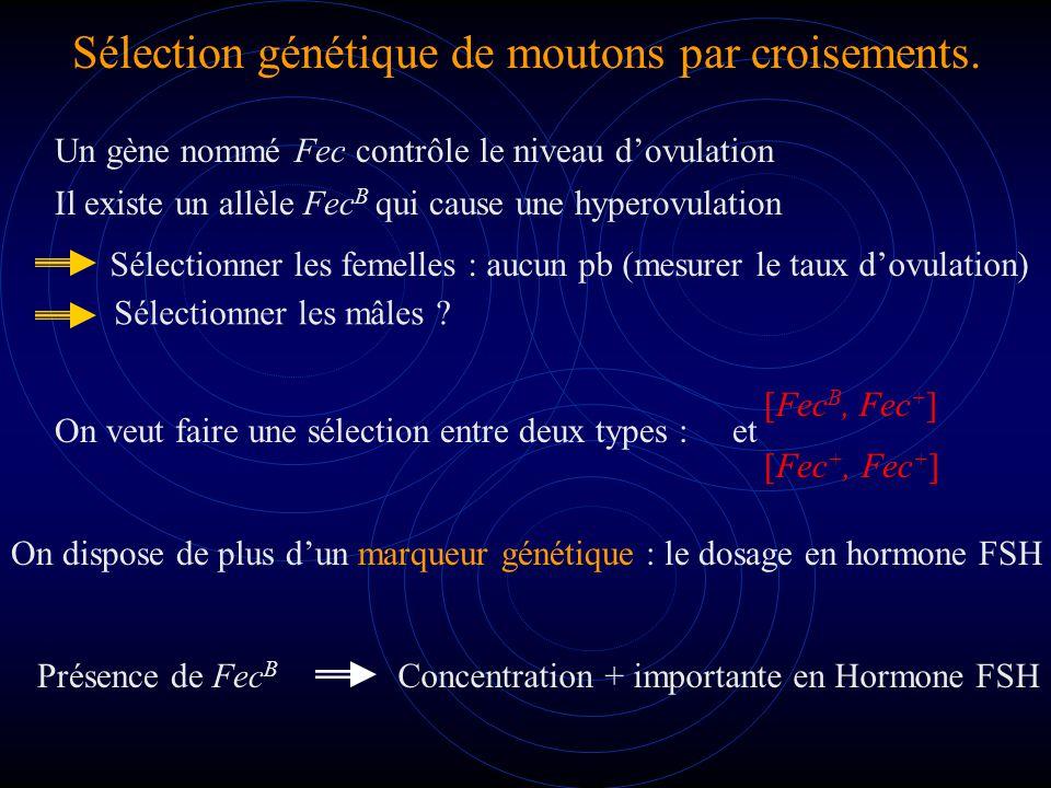 Sélection génétique de moutons par croisements.