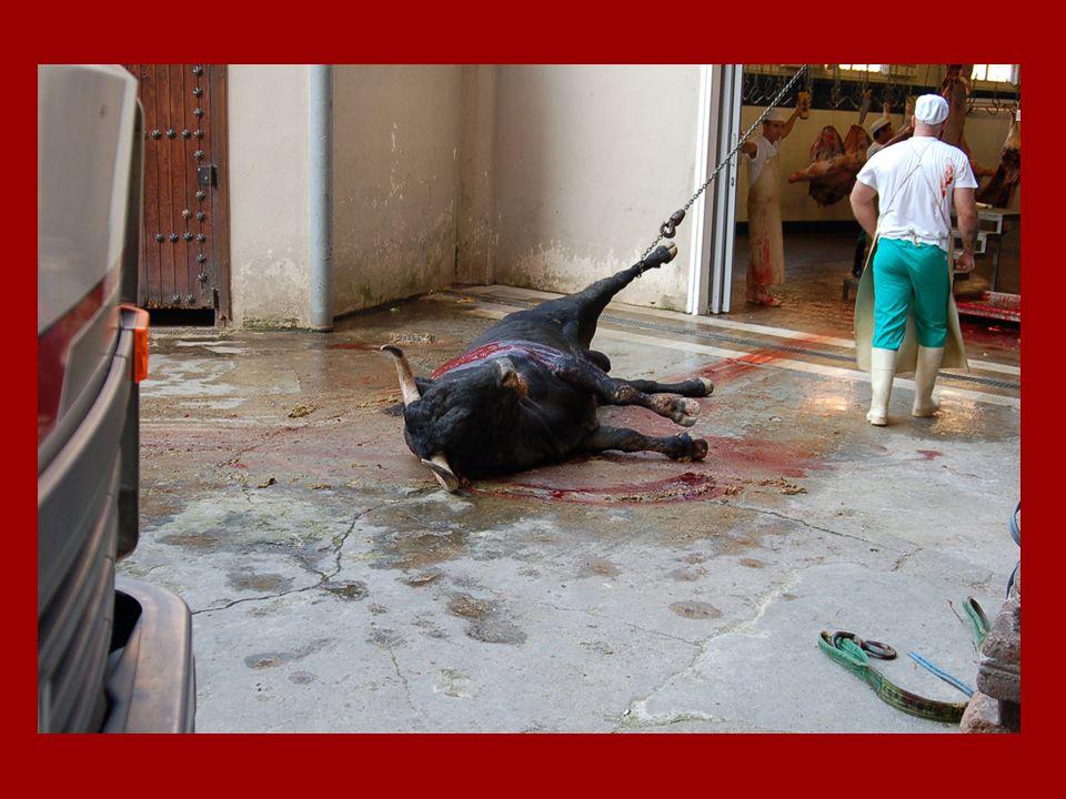 La suite … Avant dêtre dépecé, le taureau est vite traîné hors de larène.
