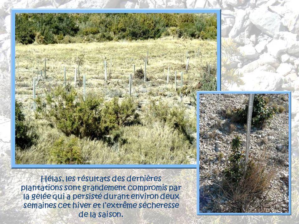 Au Rove, il est une tradition perpétuée depuis de très nombreuses années, le reboisement des collines. La municipalité finance quelques 1 000 plants q
