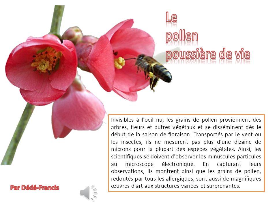 Pollen de fleurs de marronnier Grain de pollen de mouron blanc, espèce de plante herbacée annuelle