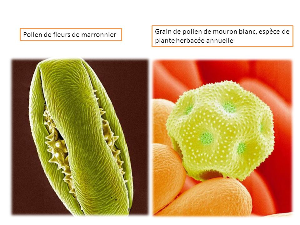 Pollen d'herbe à poux qui regroupent deux espèces d'ambroisie particulièrement responsables de rhume des foins Grains de pollen d'herbe
