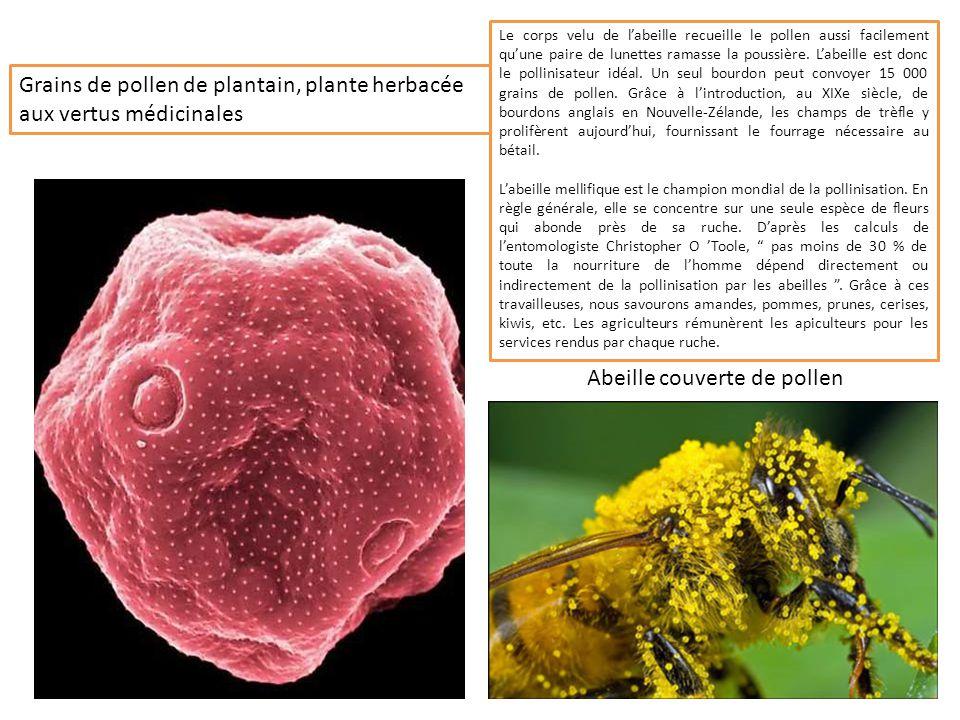 Plusieurs grains de pollen de pâquerettes, plante et fleur très fréquente en France Pollen de concombre, plante potagère rampante